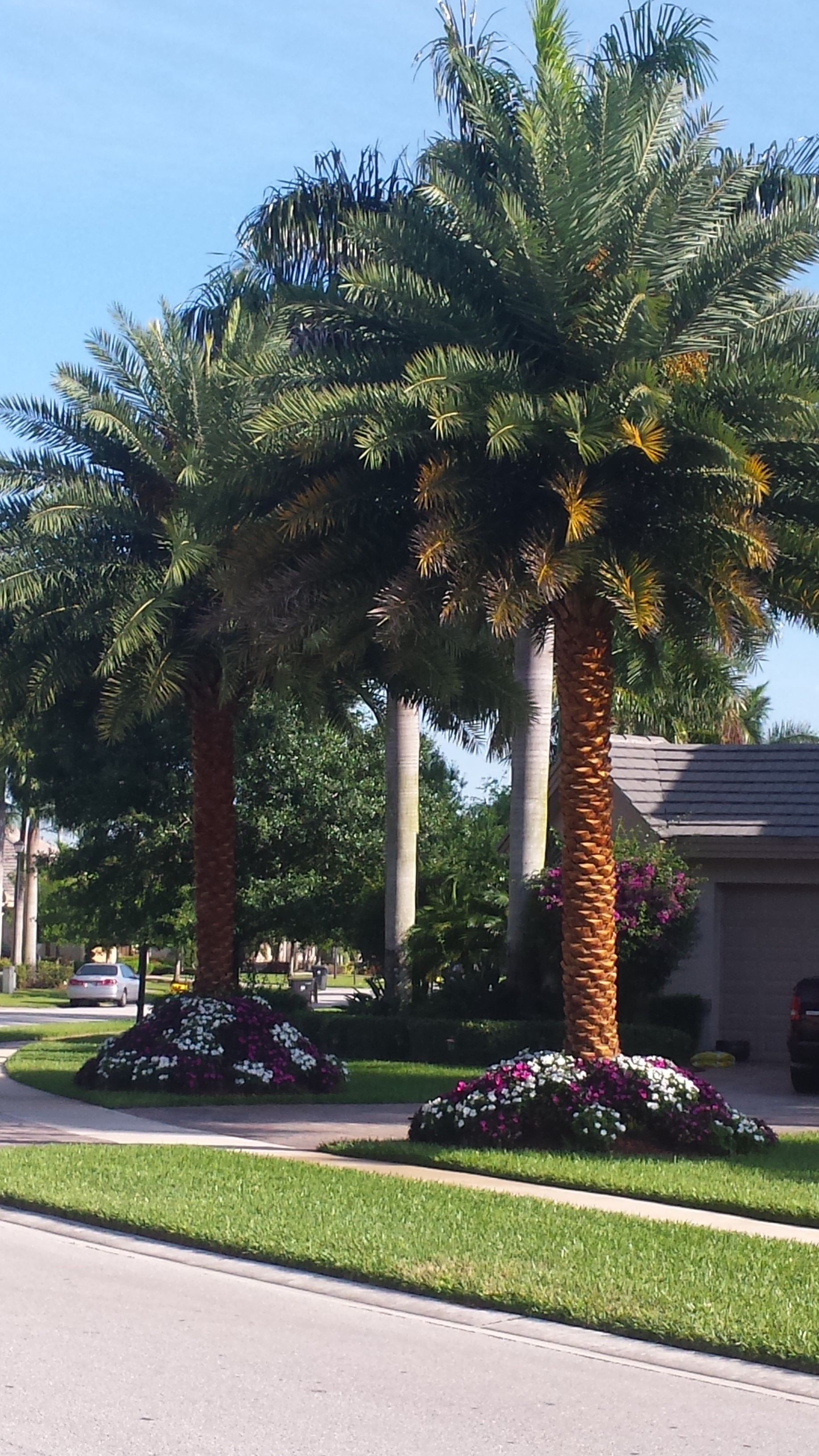 Sylvester Palm Pressure Cleaned Universal Landscape Inc
