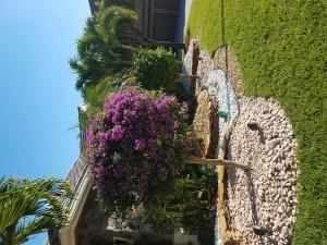 Purple Bouganvillea Standard Tree