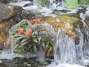 Bolivian Sunset (orange bloom)  nestled in waterfall. May last 2 to 3 years.
