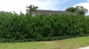Clusia - planted 8+ tall hedge