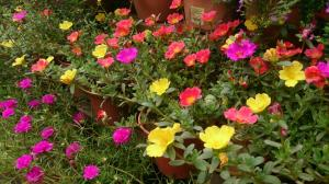 Purslane - Portulaca annual flower - Orange, Yellow, Purple, Red bloom varieties