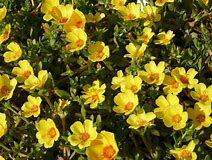 Purslane - Portulaca annual flower - yellow blooms
