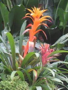 Bromeliad - Guzmania